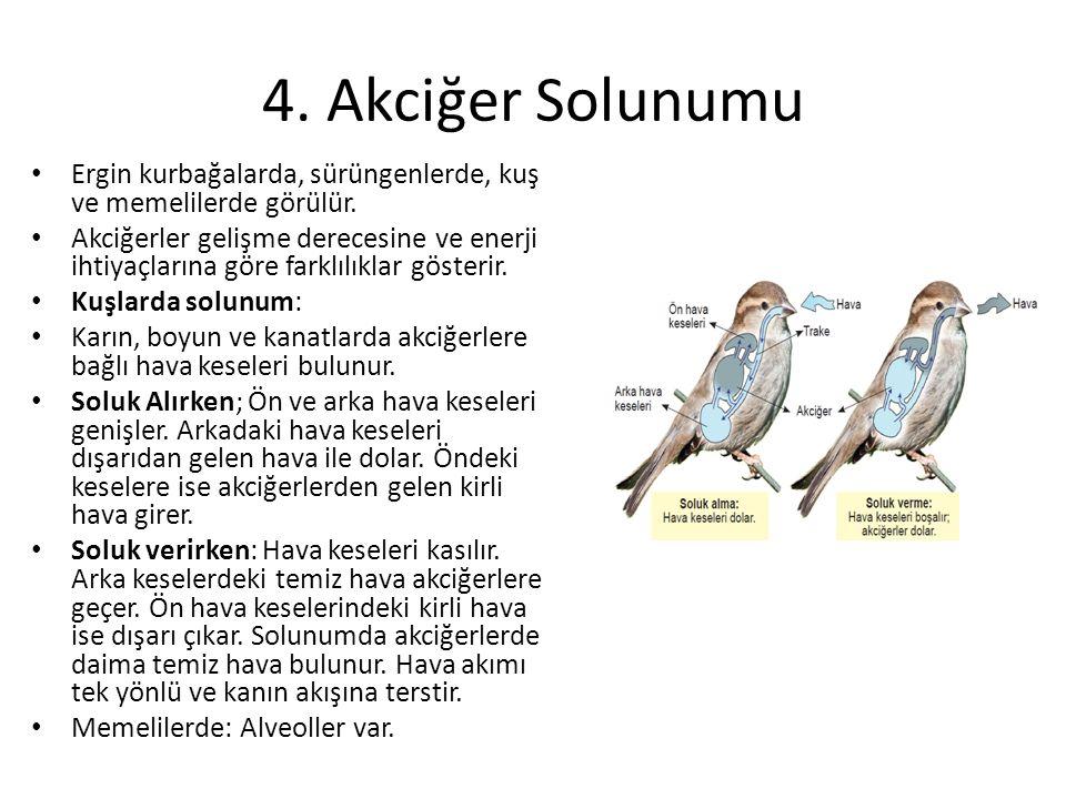 4. Akciğer Solunumu Ergin kurbağalarda, sürüngenlerde, kuş ve memelilerde görülür. Akciğerler gelişme derecesine ve enerji ihtiyaçlarına göre farklılı