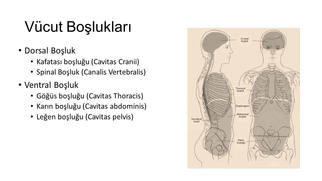 Vücut Boşlukları Dorsal Boşluk Kafatası boşluğu (Cavitas Cranii) Spinal Boşluk (Canalis Vertebralis) Ventral Boşluk Göğüs boşluğu (Cavitas Thoracis) Karın boşluğu (Cavitas abdominis) Leğen boşluğu (Cavitas pelvis)