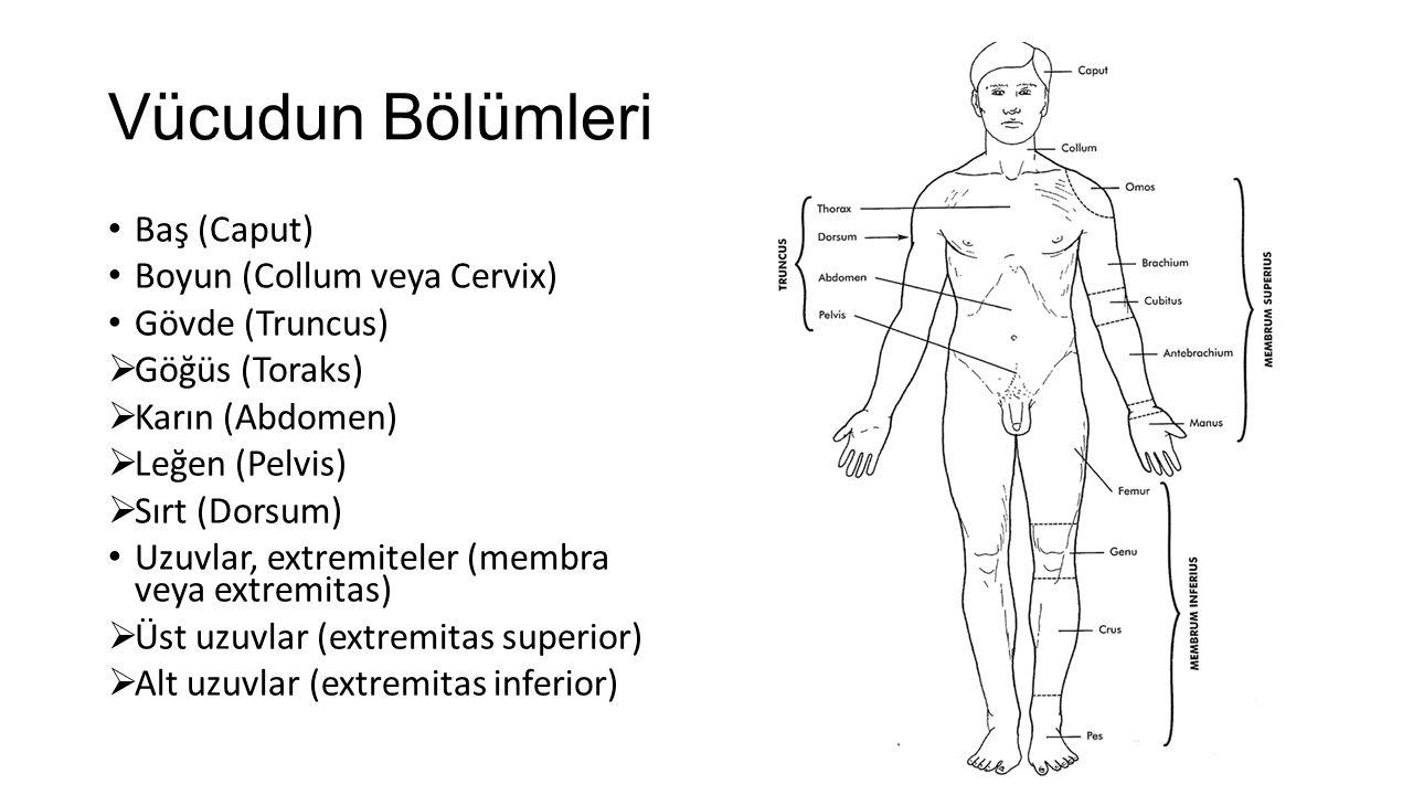 Vücudun Bölümleri Baş (Caput) Boyun (Collum veya Cervix) Gövde (Truncus)  Göğüs (Toraks)  Karın (Abdomen)  Leğen (Pelvis)  Sırt (Dorsum) Uzuvlar,