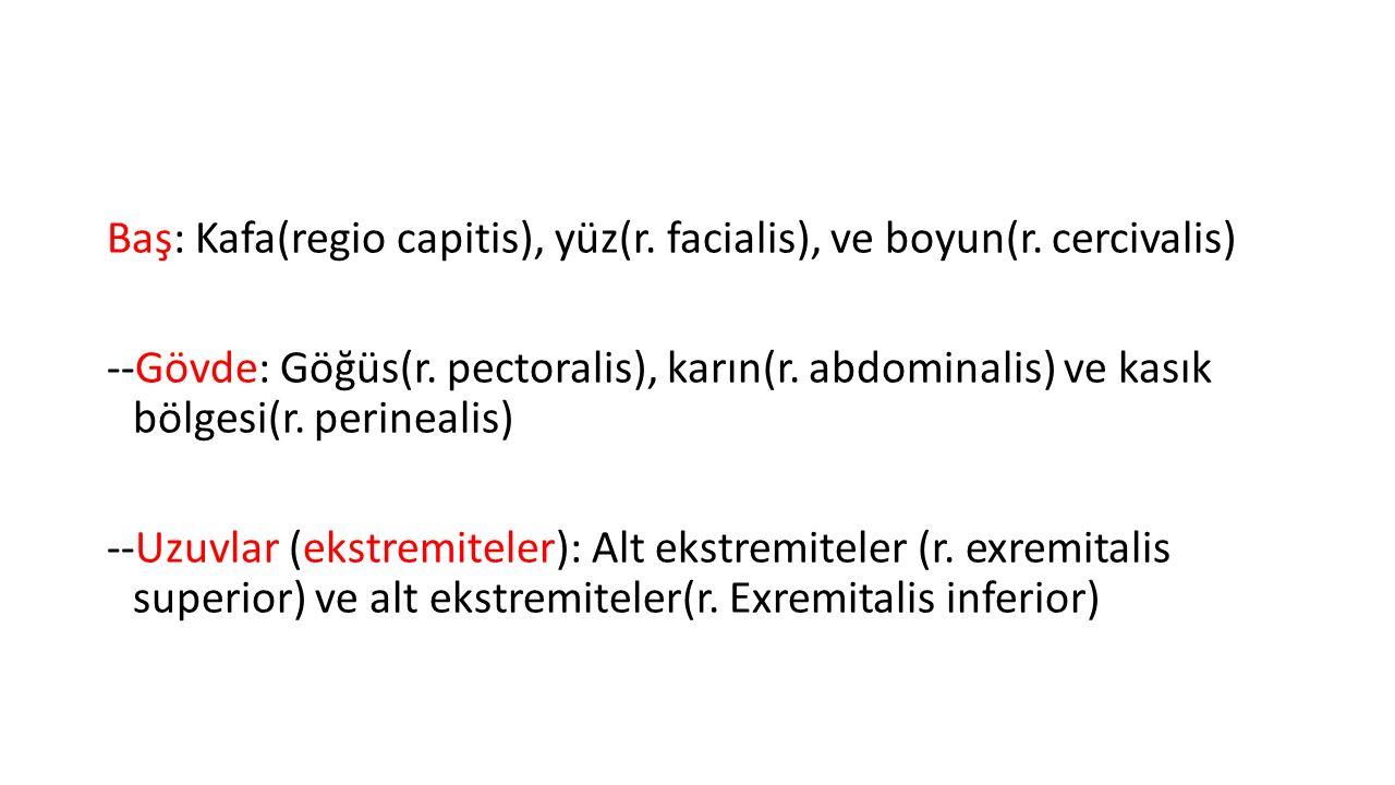 Baş: Kafa(regio capitis), yüz(r. facialis), ve boyun(r. cercivalis) --Gövde: Göğüs(r. pectoralis), karın(r. abdominalis) ve kasık bölgesi(r. perineali