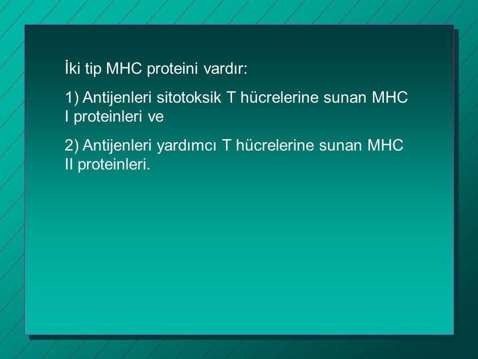 İki tip MHC proteini vardır: 1) Antijenleri sitotoksik T hücrelerine sunan MHC I proteinleri ve 2) Antijenleri yardımcı T hücrelerine sunan MHC II pro