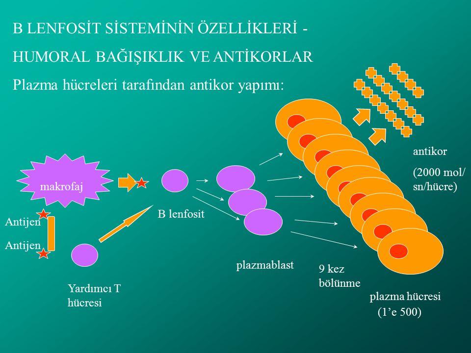 B LENFOSİT SİSTEMİNİN ÖZELLİKLERİ - HUMORAL BAĞIŞIKLIK VE ANTİKORLAR Plazma hücreleri tarafından antikor yapımı: Yardımcı T hücresi Antijen makrofaj B lenfosit plazmablast plazma hücresi 9 kez bölünme (1'e 500) antikor (2000 mol/ sn/hücre)