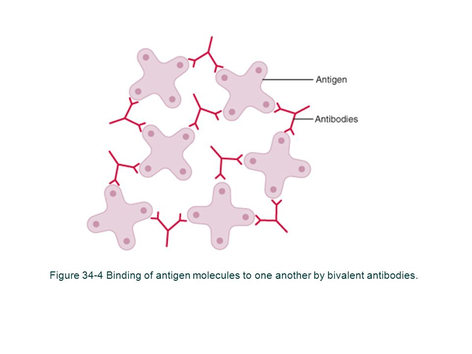 Figure 34-4 Binding of antigen molecules to one another by bivalent antibodies.