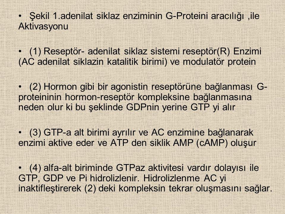 Şekil 1.adenilat siklaz enziminin G-Proteini aracılığı,ile Aktivasyonu (1) Reseptör- adenilat siklaz sistemi reseptör(R) Enzimi (AC adenilat siklazin katalitik birimi) ve modulatör protein (2) Hormon gibi bir agonistin reseptörüne bağlanması G- proteininin hormon-reseptör kompleksine bağlanmasına neden olur ki bu şeklinde GDPnin yerine GTP yi alır (3) GTP-a alt birimi ayrılır ve AC enzimine bağlanarak enzimi aktive eder ve ATP den siklik AMP (cAMP) oluşur (4) alfa-alt biriminde GTPaz aktivitesi vardır dolayısı ile GTP, GDP ve Pi hidrolizlenir.