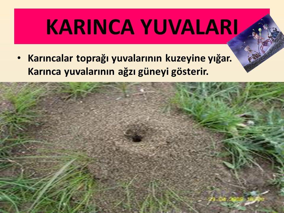 KARINCA YUVALARI Karıncalar toprağı yuvalarının kuzeyine yığar. Karınca yuvalarının ağzı güneyi gösterir.