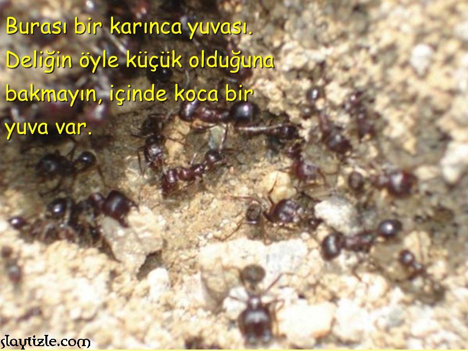 Burası bir karınca yuvası. Deliğin öyle küçük olduğuna bakmayın, içinde koca bir yuva var.