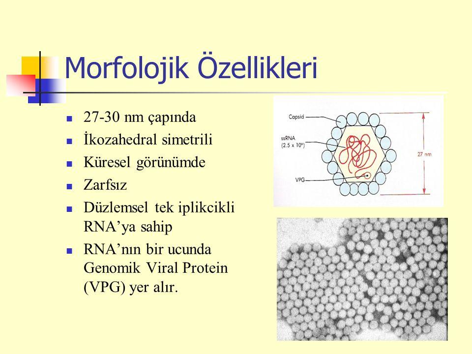 Morfolojik Özellikleri 27-30 nm çapında İkozahedral simetrili Küresel görünümde Zarfsız Düzlemsel tek iplikcikli RNA'ya sahip RNA'nın bir ucunda Genomik Viral Protein (VPG) yer alır.