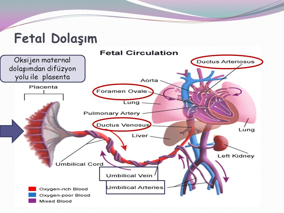 Fetal Dolaşım Oksijen maternal dolaşımdan difüzyon yolu ile plasenta