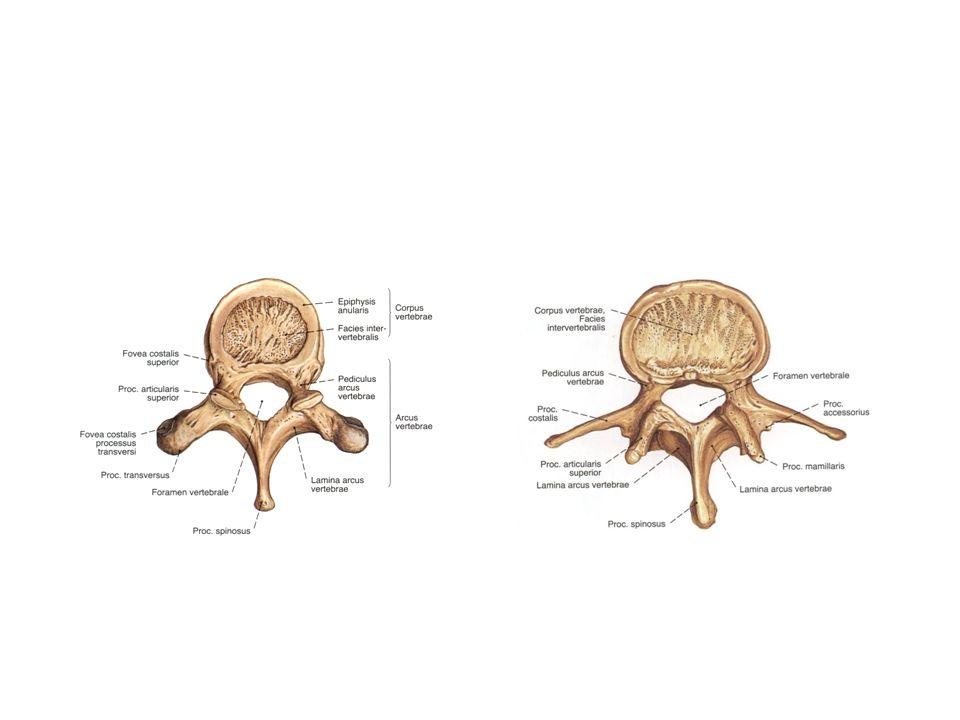 8 43 yaşında Normal Kadın Anatomisi(MR) Sagittal T2 MR 0.3-T scanner 1.apikal ligament 2.anterior occipitoatlantal membran 3.anterior atlantoaxial membran 4.anterior longitunal ligament 5.Tectorial membran 6.dural refleksiyon 7.posterior occipitoatlantal ligament 8.posterior atlantoaxial membran 9.Lig.nucha 10.Lig.flavum 11.interspinöz ligament 12.supraspinöz ligament