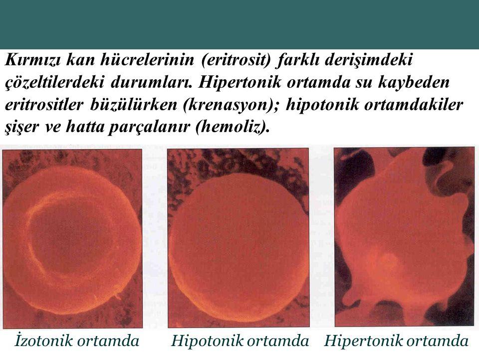 Copyright © 2004 Pearson Education, Inc., publishing as Benjamin Cummings İzotonik ortamdaHipotonik ortamdaHipertonik ortamda Kırmızı kan hücrelerinin (eritrosit) farklı derişimdeki çözeltilerdeki durumları.