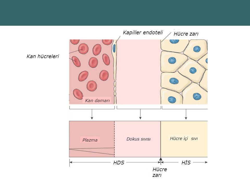 Copyright © 2004 Pearson Education, Inc., publishing as Benjamin Cummings Kapiller endoteli Hücre zarı Kan hücreleri Kan damarı Plazma Dokus sıvısı Hücre içi sıvı Hücre zarı HDSHİS