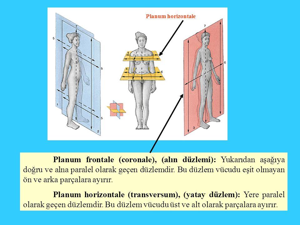 Planum frontale (coronale), (alın düzlemi): Yukarıdan aşağıya doğru ve alna paralel olarak geçen düzlemdir. Bu düzlem vücudu eşit olmayan ön ve arka p