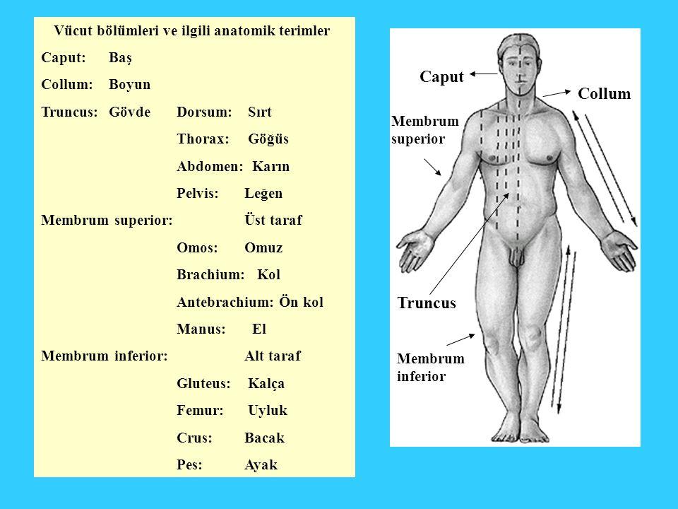 Vücut bölümleri ve ilgili anatomik terimler Caput: Baş Collum: Boyun Truncus: GövdeDorsum: Sırt Thorax: Göğüs Abdomen: Karın Pelvis: Leğen Membrum sup