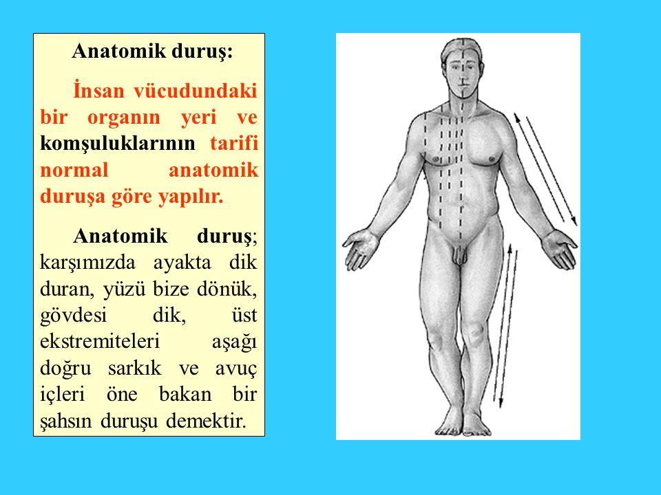 Anatomik duruş: İnsan vücudundaki bir organın yeri ve komşuluklarının tarifi normal anatomik duruşa göre yapılır. Anatomik duruş; karşımızda ayakta di