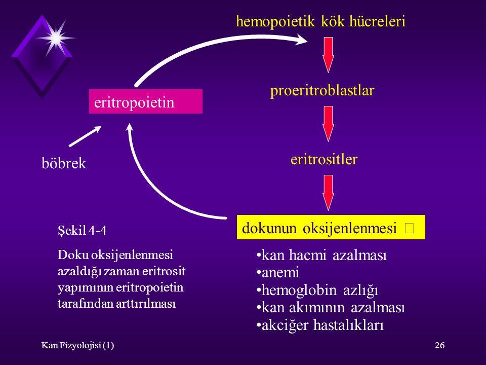 Kan Fizyolojisi (1)26 hemopoietik kök hücreleri proeritroblastlar eritrositler dokunun oksijenlenmesi  eritropoietin  böbrek kan hacmi azalması anem