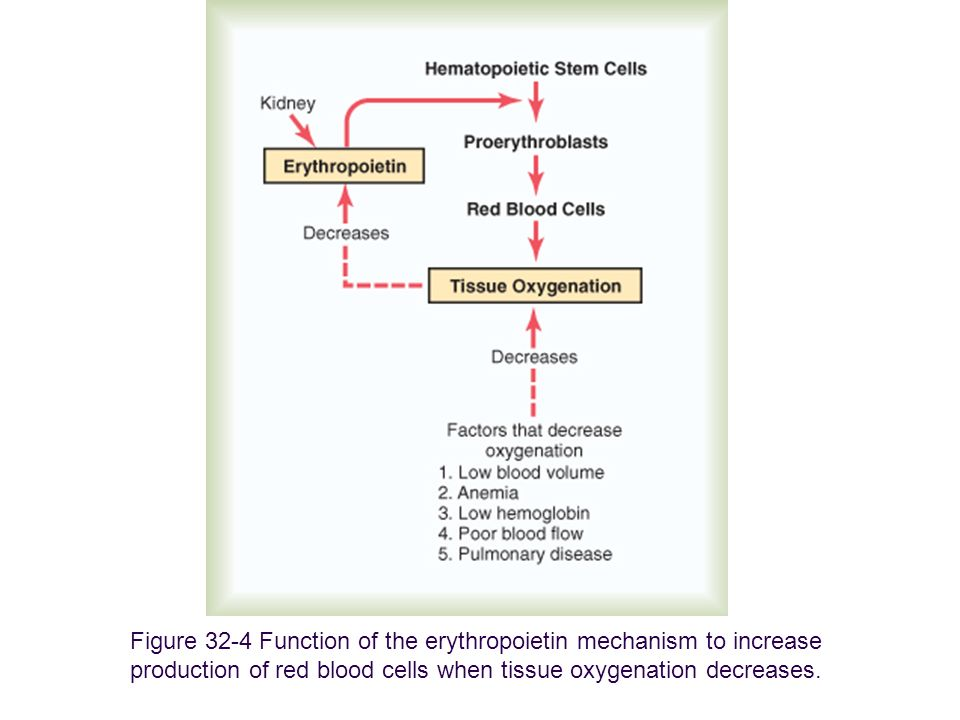 Figure 32-4 Function of the erythropoietin mechanism to increase production of red blood cells when tissue oxygenation decreases.
