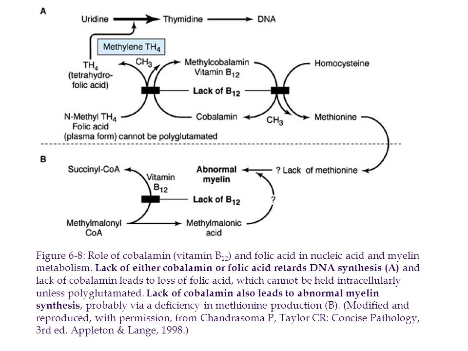 Figure 6-8: Role of cobalamin (vitamin B 12 ) and folic acid in nucleic acid and myelin metabolism.