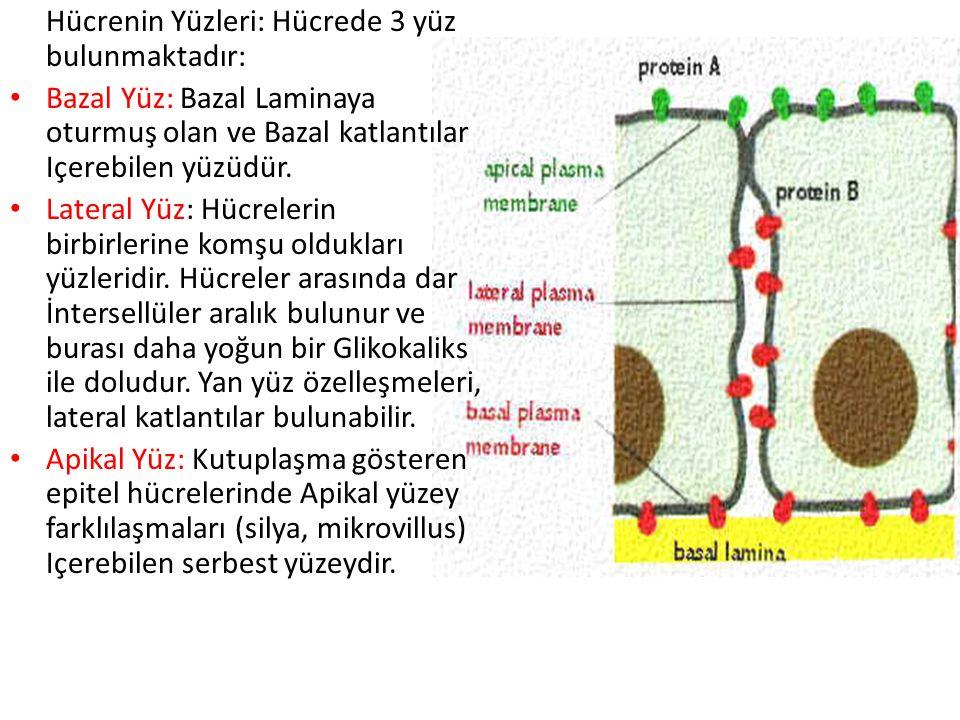 Hücrenin Yüzleri: Hücrede 3 yüz bulunmaktadır: Bazal Yüz: Bazal Laminaya oturmuş olan ve Bazal katlantılar Içerebilen yüzüdür. Lateral Yüz: Hücrelerin