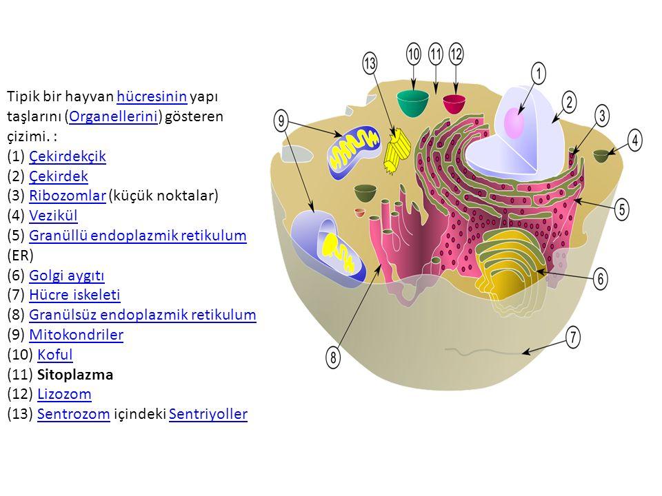 Tipik bir hayvan hücresinin yapı taşlarını (Organellerini) gösteren çizimi. : (1) Çekirdekçik (2) Çekirdek (3) Ribozomlar (küçük noktalar) (4) Vezikül