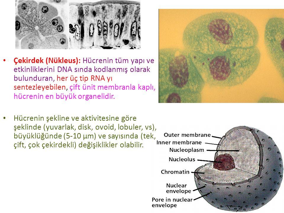 Çekirdek (Nükleus): Hücrenin tüm yapı ve etkinliklerini DNA sında kodlanmış olarak bulunduran, her üç tip RNA yı sentezleyebilen, çift ünit membranla