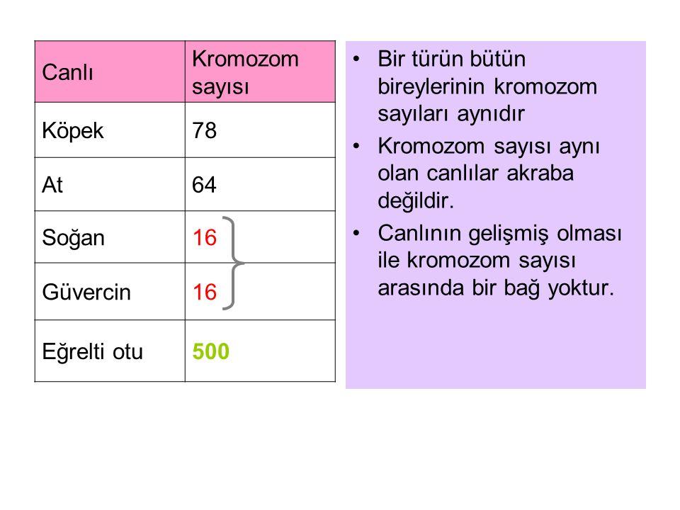 Canlı Kromozom sayısı Köpek78 At64 Soğan16 Güvercin16 Eğrelti otu500 Bir türün bütün bireylerinin kromozom sayıları aynıdır Kromozom sayısı aynı olan canlılar akraba değildir.