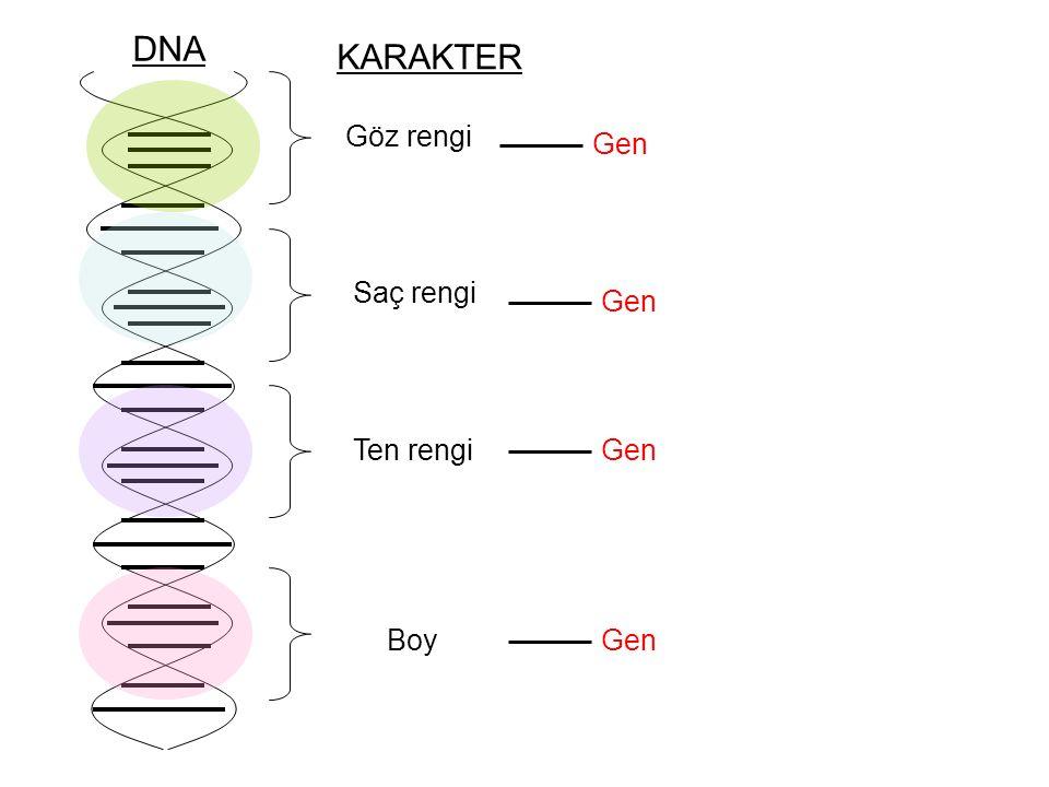 Göz rengi Saç rengi Boy Ten rengi Gen DNA KARAKTER Gen