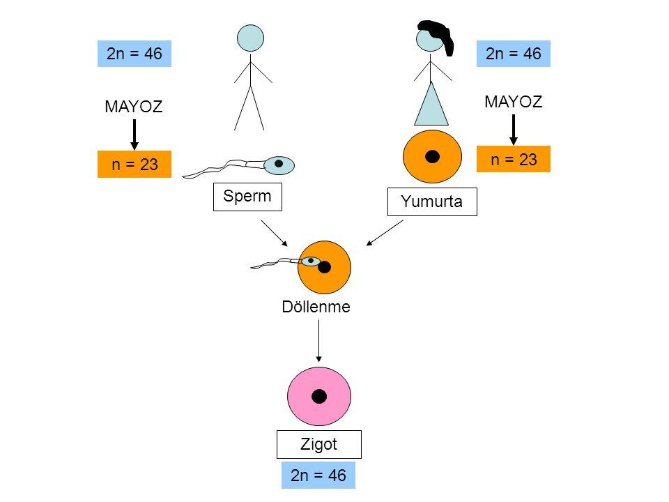 n = 23 Döllenme Zigot 2n = 46 Sperm Yumurta 2n = 46 MAYOZ