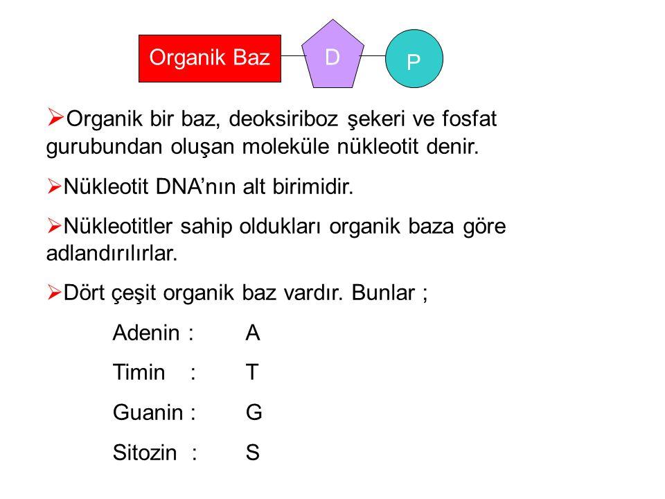 P DOrganik Baz  Organik bir baz, deoksiriboz şekeri ve fosfat gurubundan oluşan moleküle nükleotit denir.