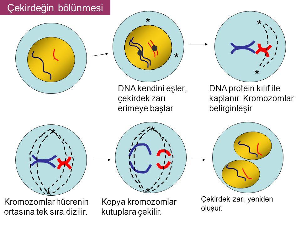 * * * * * * DNA kendini eşler, çekirdek zarı erimeye başlar DNA protein kılıf ile kaplanır.