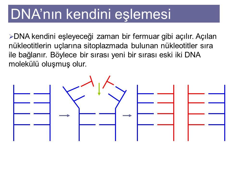 DNA'nın kendini eşlemesi  DNA kendini eşleyeceği zaman bir fermuar gibi açılır.