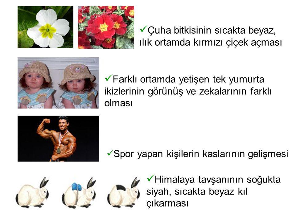 Çuha bitkisinin sıcakta beyaz, ılık ortamda kırmızı çiçek açması Farklı ortamda yetişen tek yumurta ikizlerinin görünüş ve zekalarının farklı olması Spor yapan kişilerin kaslarının gelişmesi Himalaya tavşanının soğukta siyah, sıcakta beyaz kıl çıkarması