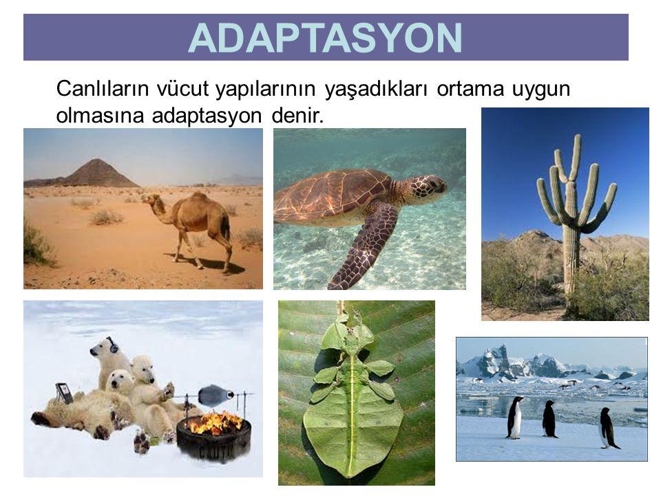 ADAPTASYON Canlıların vücut yapılarının yaşadıkları ortama uygun olmasına adaptasyon denir.