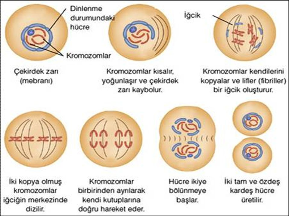 Aşağıdaki insan hücrelerinden hangisinin DNA miktarı farklıdır? A)Sperm B)Kemik C)Kas D)Sinir