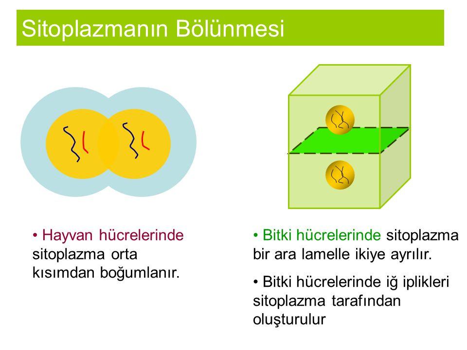 Sitoplazmanın Bölünmesi Hayvan hücrelerinde sitoplazma orta kısımdan boğumlanır.