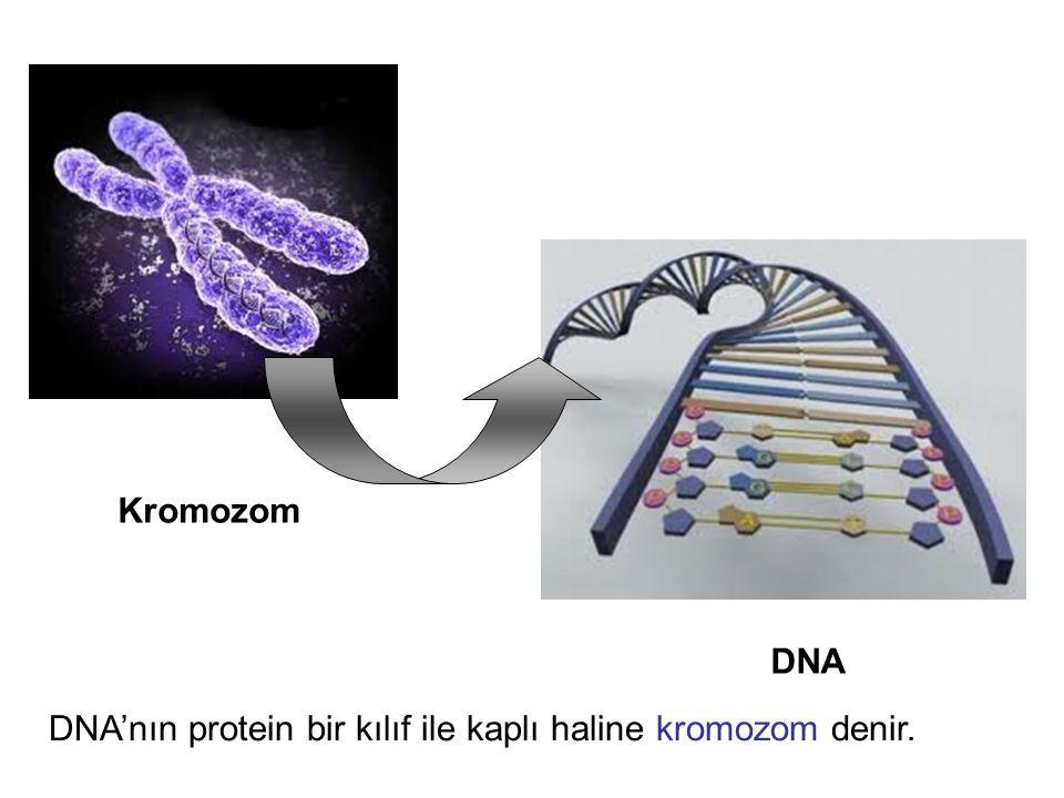  DNA nın protein bir kılıf ile kaplı haline kromozom denir.