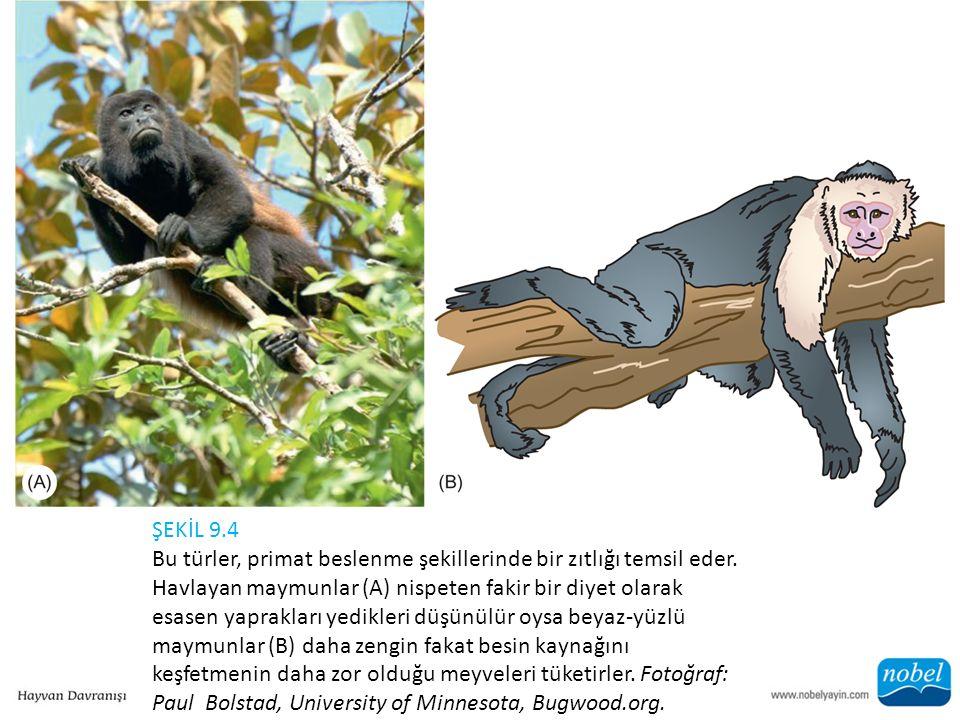 ŞEKİL 9.4 Bu türler, primat beslenme şekillerinde bir zıtlığı temsil eder. Havlayan maymunlar (A) nispeten fakir bir diyet olarak esasen yaprakları ye