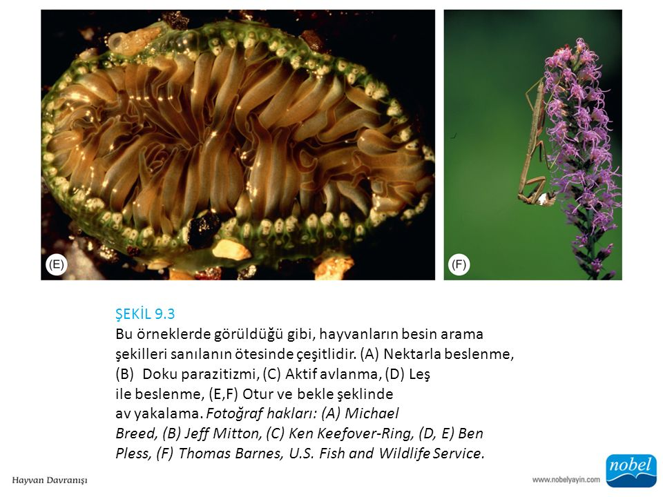 ŞEKİL 9.3 Bu örneklerde görüldüğü gibi, hayvanların besin arama şekilleri sanılanın ötesinde çeşitlidir. (A) Nektarla beslenme, (B) Doku parazitizmi,