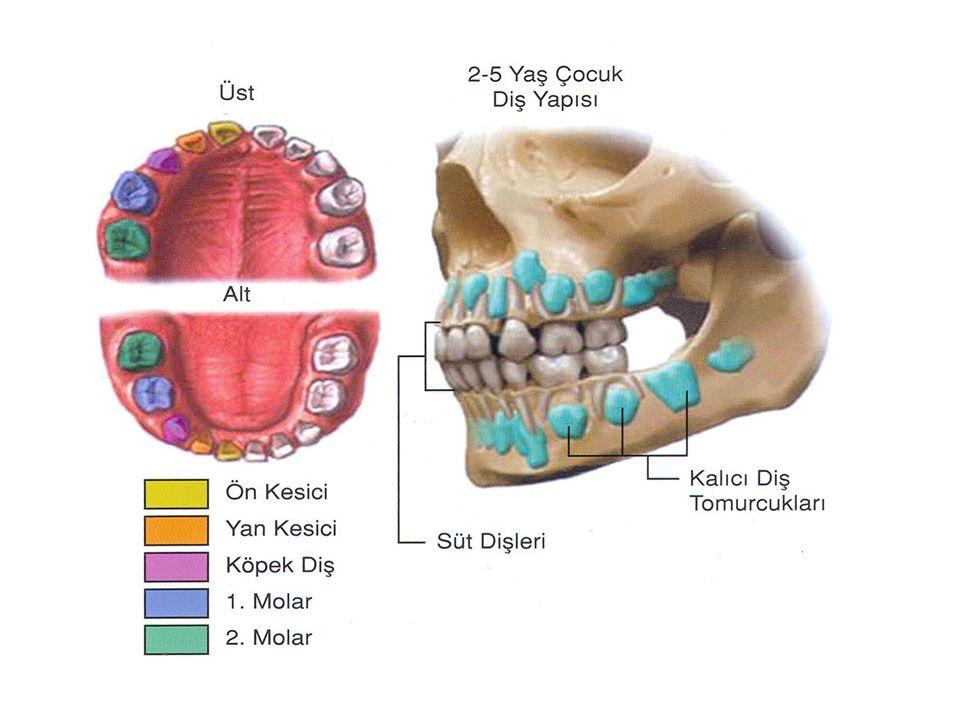 Süt dişleri; * Toplam 20 adettir. *Bebekken 6-9 aylıkken çıkmaya başlar. *8-9 yaş civarında süt dişlerimiz sallanarak yerine kalıcı dişlerimiz çıkar *