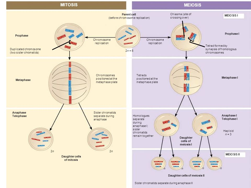 MITOSIS MEIOSIS Prophase Duplicated chromosome (two sister chromatids) Chromosome replication Chromosome replication Parent cell (before chromosome re