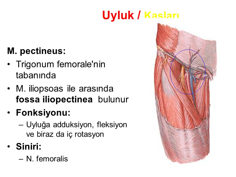 103 Uyluk / Kasları M.pectineus: Trigonum femorale nin tabanında M.