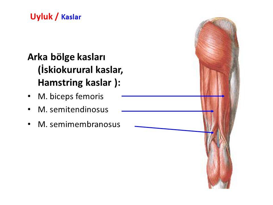 Uyluk / Kaslar Arka bölge kasları (İskiokurural kaslar, Hamstring kaslar ): M.