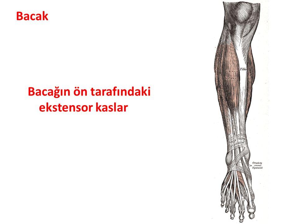Bacağın ön tarafındaki ekstensor kaslar Bacak