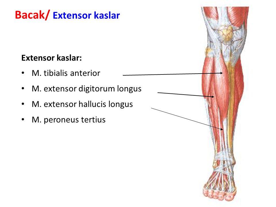 Extensor kaslar: M.tibialis anterior M. extensor digitorum longus M.