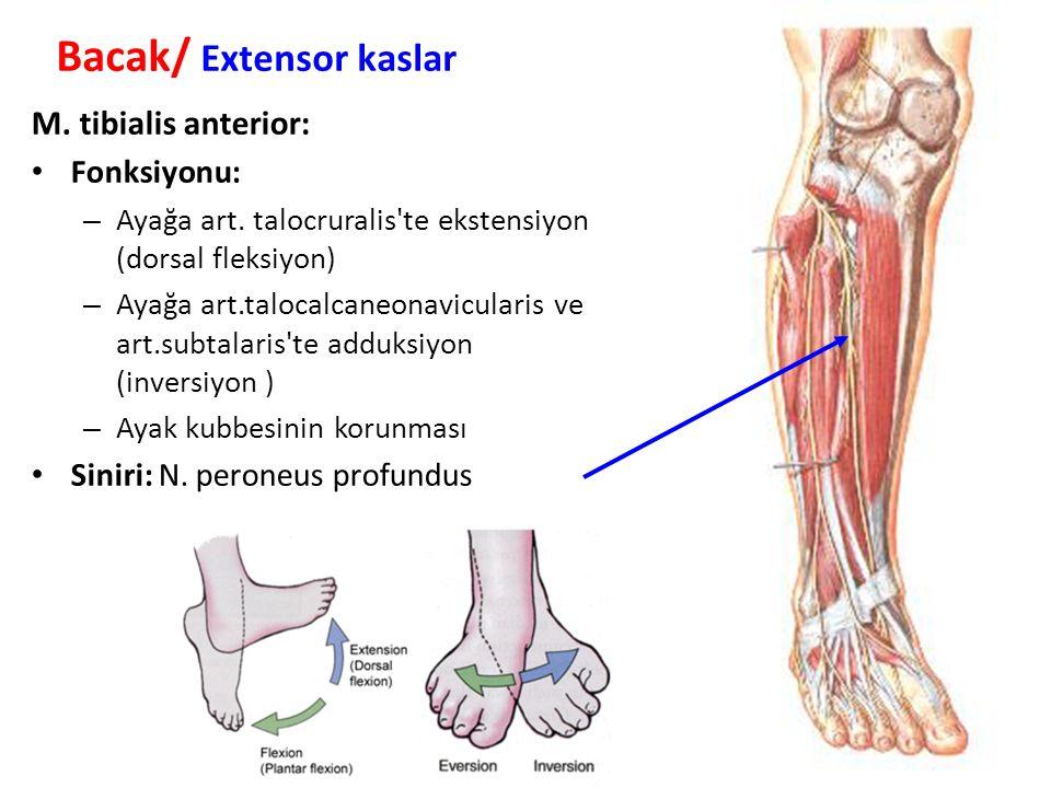 M.tibialis anterior: Fonksiyonu: – Ayağa art.