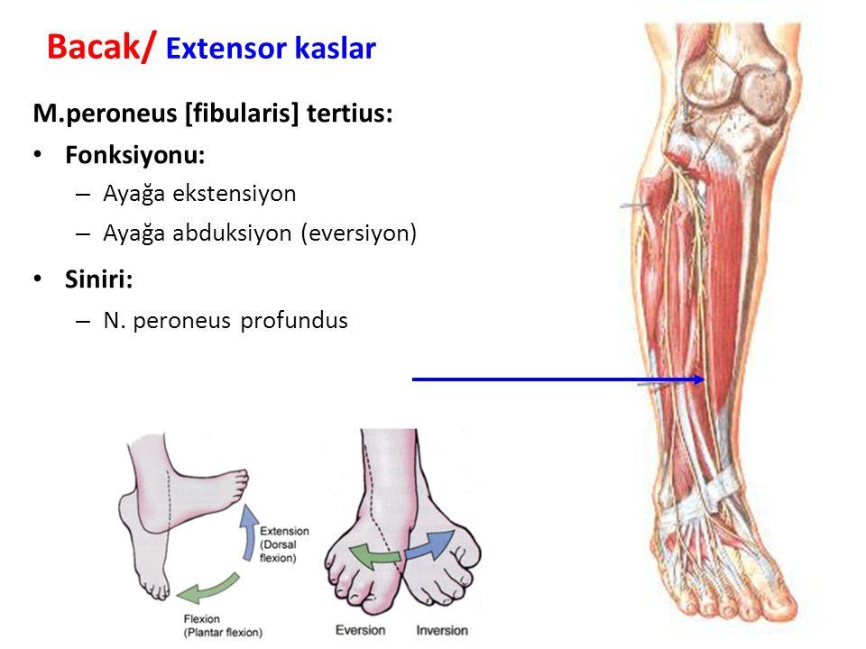 M.peroneus [fibularis] tertius: Fonksiyonu: – Ayağa ekstensiyon – Ayağa abduksiyon (eversiyon) Siniri: – N.