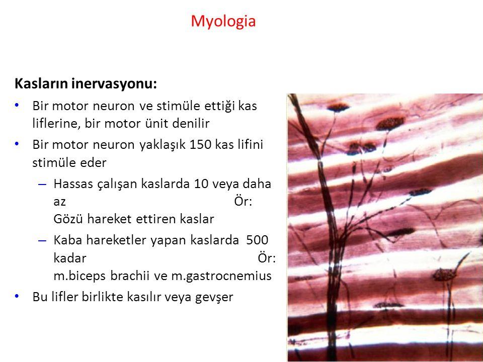 Myologia Kasların inervasyonu: Bir motor neuron ve stimüle ettiği kas liflerine, bir motor ünit denilir Bir motor neuron yaklaşık 150 kas lifini stimüle eder – Hassas çalışan kaslarda 10 veya daha az Ör: Gözü hareket ettiren kaslar – Kaba hareketler yapan kaslarda 500 kadar Ör: m.biceps brachii ve m.gastrocnemius Bu lifler birlikte kasılır veya gevşer
