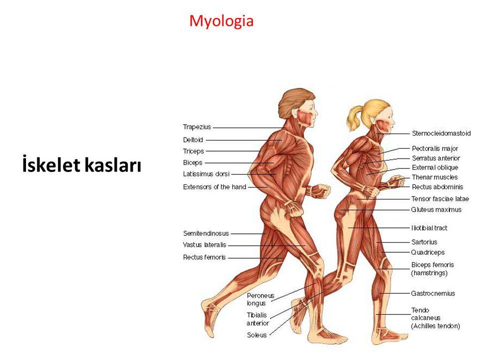 Myologia İskelet kasları