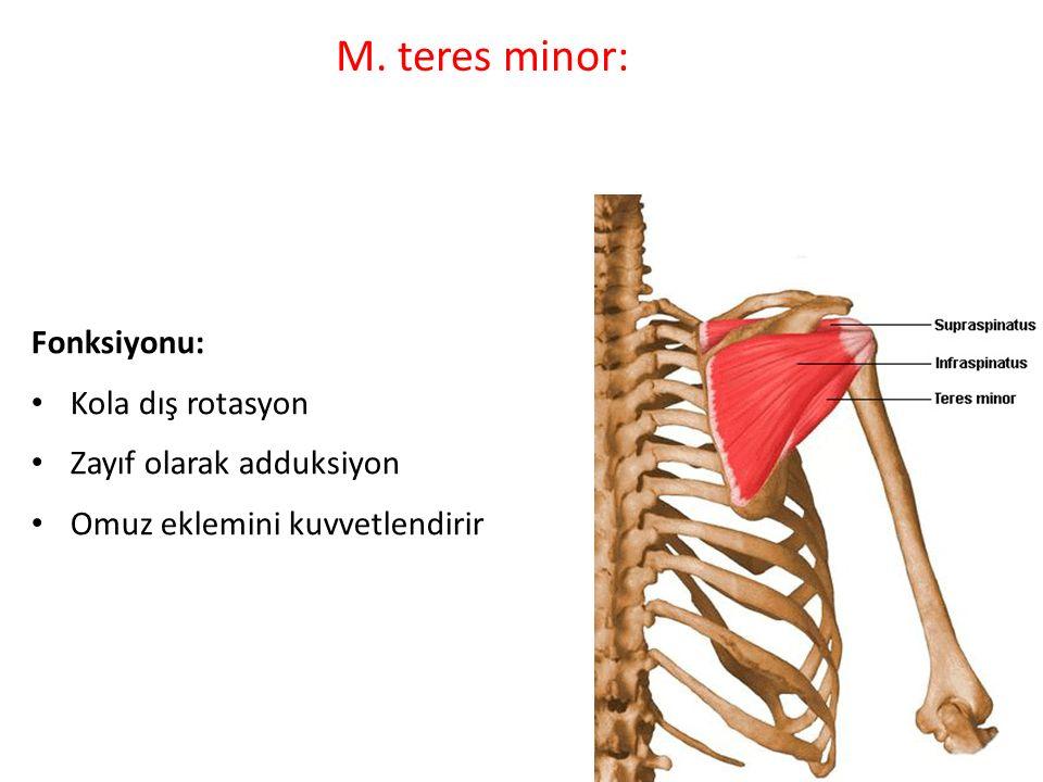 M. teres minor: Fonksiyonu: Kola dış rotasyon Zayıf olarak adduksiyon Omuz eklemini kuvvetlendirir