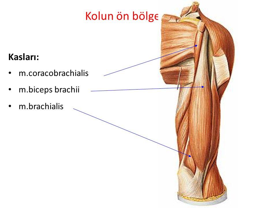 Kolun ön bölgesi: Kasları: m.coracobrachialis m.biceps brachii m.brachialis