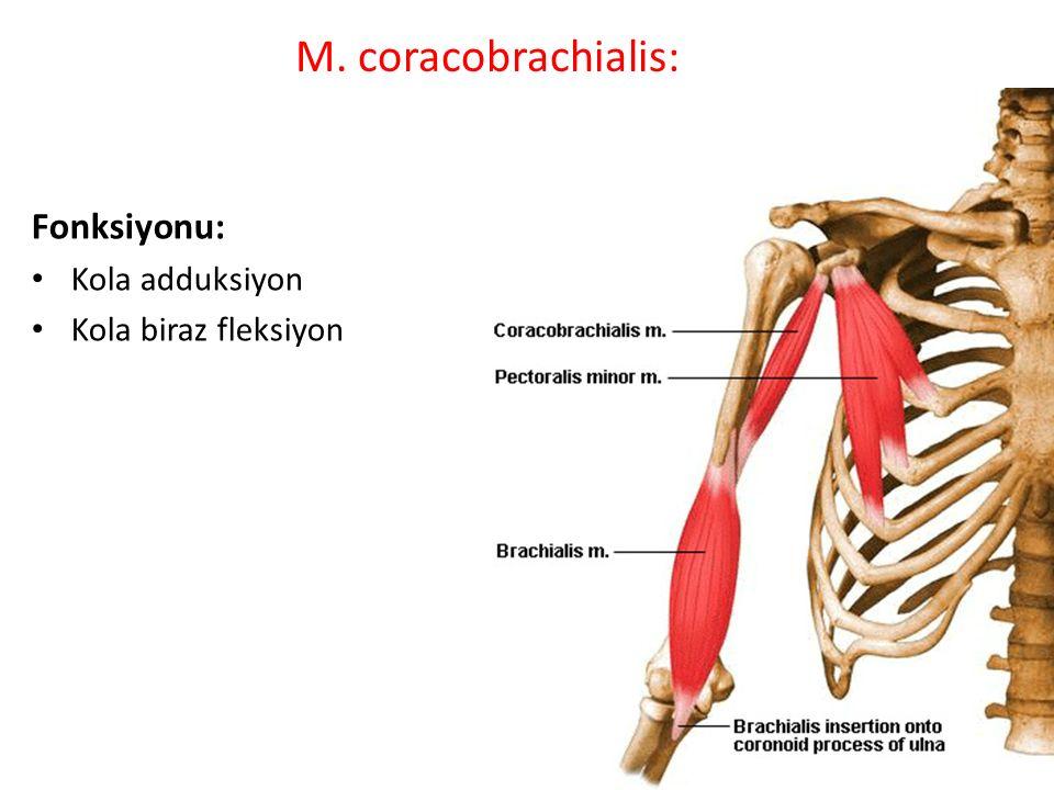 M. coracobrachialis: Fonksiyonu: Kola adduksiyon Kola biraz fleksiyon